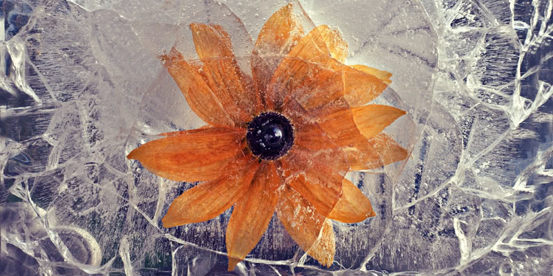 Ice and flowers: Nice frozen still-life photography by Vasilij Cesenov