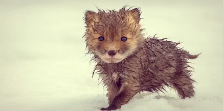 Chukotka animals: Lovely photos of Russian foxes by Ivan Kislov