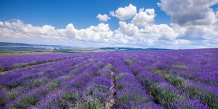 Crimean Provence: Beautiful lavender fields of Crimean peninsula
