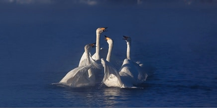 Dancing swans: Beautiful photographs by Dmitry Kupratsevich