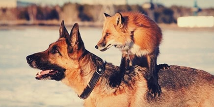 A little cute video story about the fox Vilya from Novosibirsk